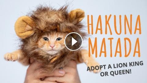 Hakuna Matata Adopt A Lion King Or Queen Parody The Lion