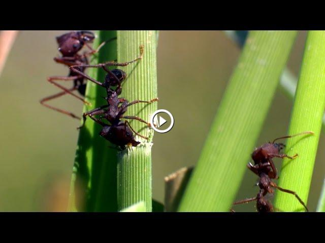an introduction to the nature of ants the social insects that live in colonies Understanding a fire ant colony fire ants are social insects that build nests  single-queen colonies are territorial in nature.